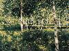 Free Artistic Wallpaper : Levitan - Birch Forest