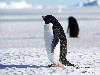 Free Nature Wallpaper : Adelie Penguin