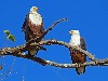 Free Nature Wallpaper : African Fish Eagle