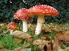 Free Nature Wallpaper : Amanita