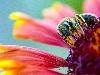 Free Nature Wallpaper : Apis Mellifera