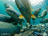 Free Nature Wallpaper : Atlantic Salmon