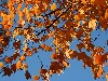 Free Nature Wallpaper : Autumn Leaves in Louisville