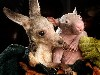 Free Nature Wallpaper : Baby Kangaroo and Baby Wombat