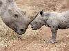 Free Nature Wallpaper : Rhino - Baby