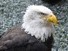 Free Nature Wallpaper : Bald Eagle
