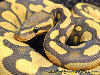 Free Nature Wallpaper : Ball Python