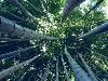 Free Nature Wallpaper : Bamboos