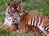 Free Nature Wallpaper : Bengal Tiger and Cub