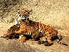 Free Nature Wallpaper : Bengal Tiger and Cubs