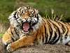 Free Nature Wallpaper : Bengal Tiger