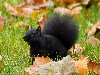 Free Nature Wallpaper : Black Squirrel