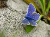 Free Nature Wallpaper : Blue Butterfly