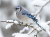Free Nature Wallpaper : Bluejay - Winter