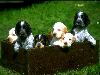 Free Nature Wallpaper : Box of Puppies