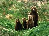 Free Nature Wallpaper : Brown Bears