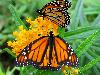 Free Nature Wallpaper : Butterflies