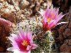 Free Nature Wallpaper : Cactus Flower