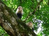 Free Nature Wallpaper : Capuchin Monkeys