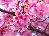 Free Nature Wallpaper : Cherry Blossom