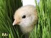 Free Nature Wallpaper : Chicken Little