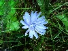 Free Nature Wallpaper : Chicory