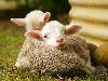 Free Nature Wallpaper : Lambs