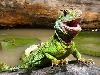 Free Nature Wallpaper : Chinese Water Dragon
