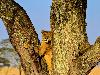 Free Nature Wallpaper : Lioness - Tree
