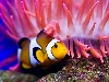 Free Nature Wallpaper : Clown Fish