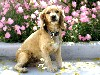 Free Nature Wallpaper : Cocker Spaniel - Puppy