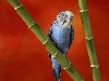 Free Nature Wallpaper : Colorful Budgerigar