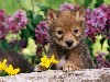 Free Nature Wallpaper : Coyote - Pup