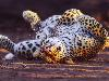 Free Nature Wallpaper : Leopard - Cute