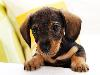 Free Nature Wallpaper : Puppy Dog
