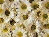 Free Nature Wallpaper : Daisies