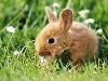 Free Nature Wallpaper : Dwarf Rabbit