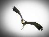 Free Nature Wallpaper : Eagle - Catch