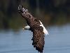 Free Nature Wallpaper : Eagle