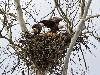 Free Nature Wallpaper : Eagle's Nest