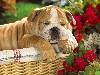 Free Nature Wallpaper : English Bulldog