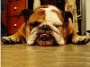 Free Nature Wallpaper : Bulldog