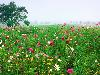 Free Nature Wallpaper : Field of Flowers