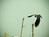 Free Nature Wallpaper : Crow