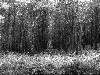Free Nature Wallpaper : Forest - Black and White