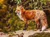 Free Nature Wallpaper : Fox