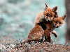 Free Nature Wallpaper : Foxes - Puppies