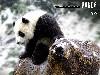 Free Nature Wallpaper : Giant Panda