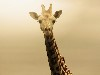 Free Nature Wallpaper : Giraffe