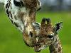 Free Nature Wallpaper : Giraffes - Loving Mother